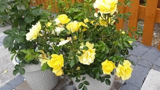 Bright flowers in rural British garden