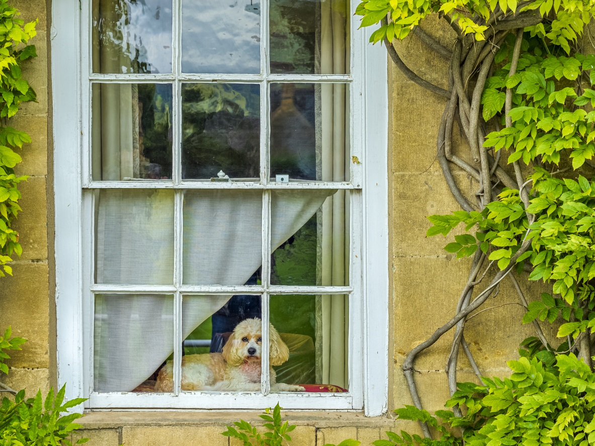 A dog with floppy ears sitting in a window of a yellow house, looking out, towards the camera which is outside the house