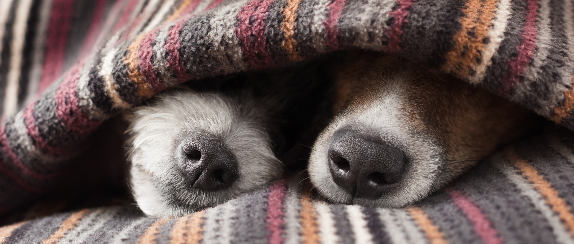 Two cosy dogs sleeping underneath a blanket