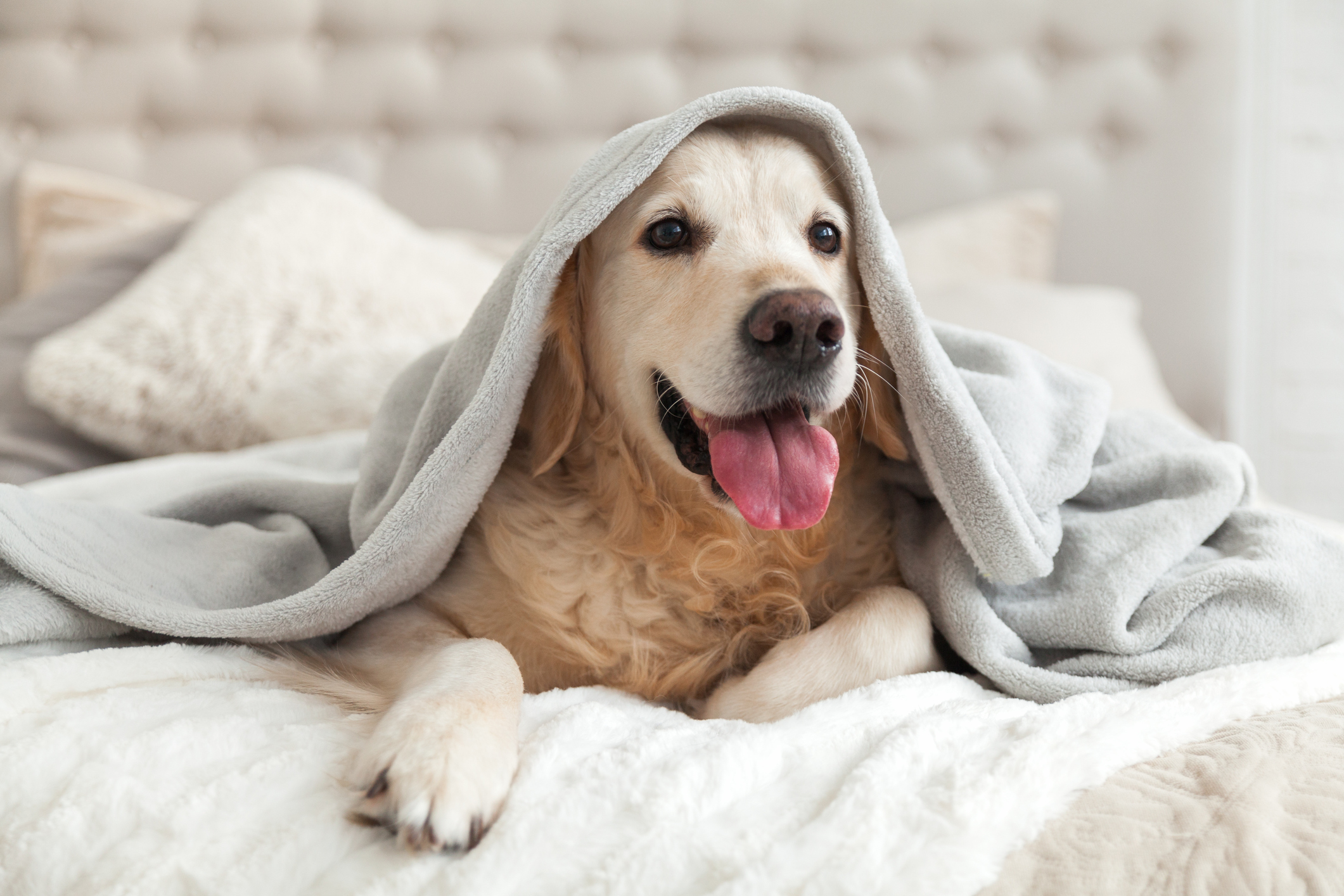 Dog sitting on bed with a blanket over its head
